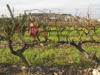 Briones from Vivanco's vineyard